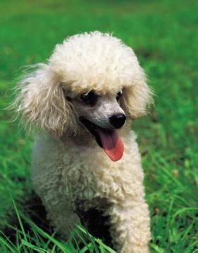Poodle dog breed information, pictures, characteristics jpg 281x360