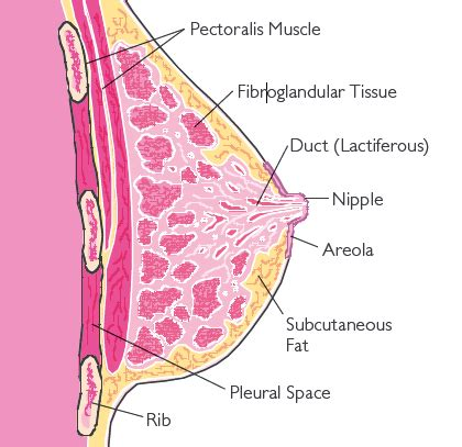 loss of breast tissue png 420x407
