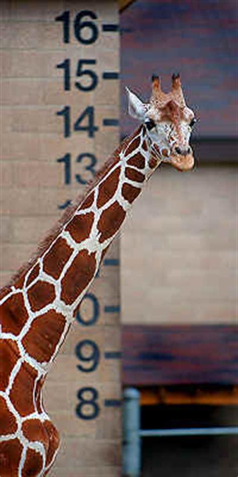 Giraffe height chart safari, safari height chart, safari jpg 200x400